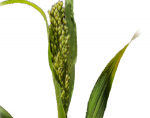 Nitrate Measurement in Hybrid Sudangrass and Pearl Millet Hays