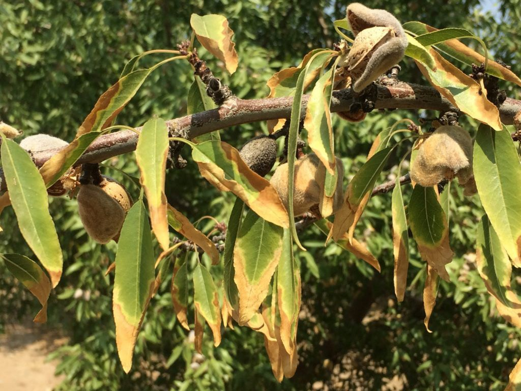 Soil Salinity Measurement in Almond Orchard